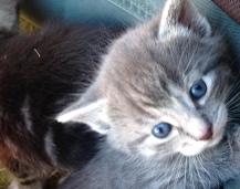 kitten-blue